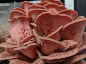 Pink Oyster
